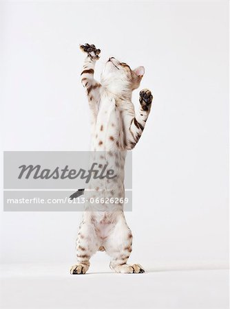 Cat standing on hind legs Stock Photo - Premium Royalty-Free, Image code: 6113-06626269