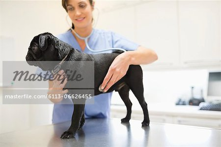 Veterinarian examining dog in vet's surgery Stock Photo - Premium Royalty-Free, Image code: 6113-06626455