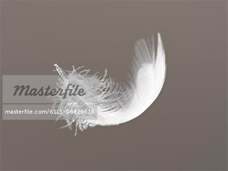 Feather floating on gray background Stock Photo - Premium Royalty-Free, Image code: 6113-06626618