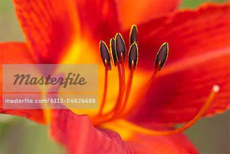 Close up of day lily Stock Photo - Premium Royalty-Free, Image code: 6113-06626688