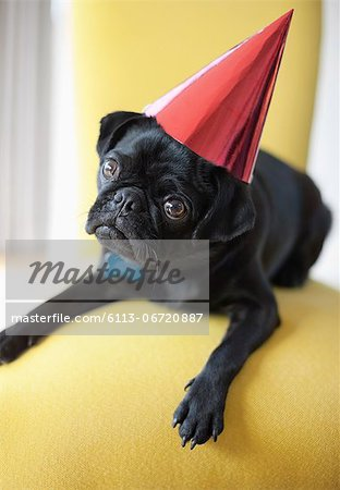 Dog wearing party hat on chair Stock Photo - Premium Royalty-Free, Image code: 6113-06720887