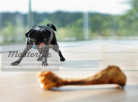 Dog licking his lips at bone Stock Photo - Premium Royalty-Free, Image code: 6113-06720891