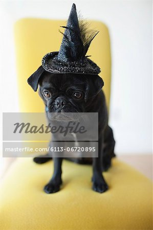 Dog wearing witch's hat in chair Stock Photo - Premium Royalty-Free, Image code: 6113-06720895