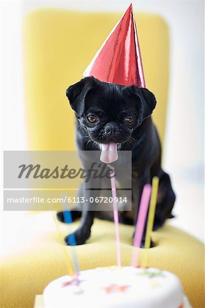 Dog in party hat examining birthday cake Stock Photo - Premium Royalty-Free, Image code: 6113-06720914