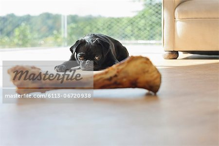 Dog resisting bone in living room Stock Photo - Premium Royalty-Free, Image code: 6113-06720938