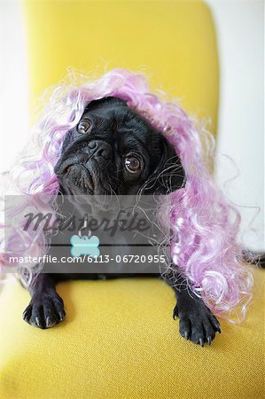Dog wearing colorful wig in chair Stock Photo - Premium Royalty-Free, Image code: 6113-06720955