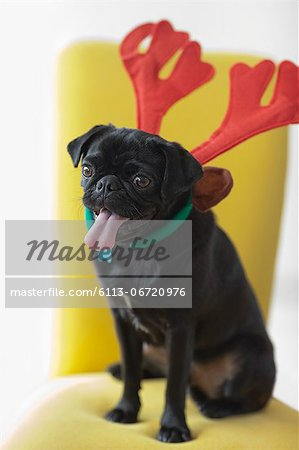 Panting dog wearing reindeer horns Stock Photo - Premium Royalty-Free, Image code: 6113-06720976
