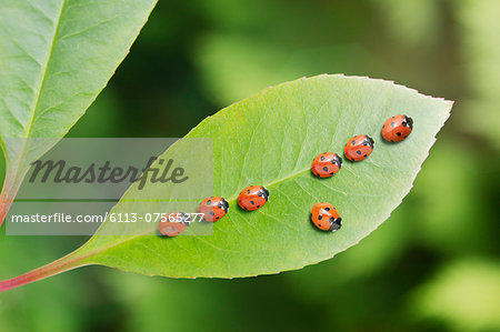 Ladybug standing out from the crowd on leaf Stock Photo - Premium Royalty-Free, Image code: 6113-07565277