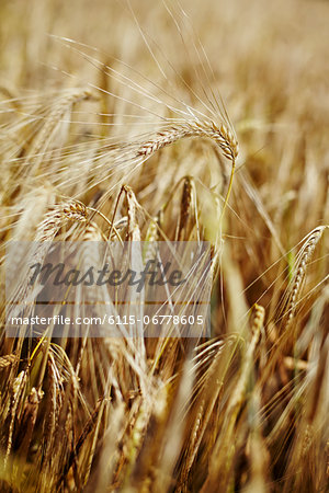 Wheat Field, Croatia, Dalmatia, Europe Stock Photo - Premium Royalty-Free, Image code: 6115-06778605