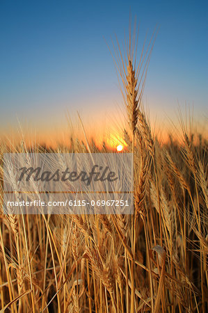 Wheat Field, Croatia, Slavonia, Europe Stock Photo - Premium Royalty-Free, Image code: 6115-06967251