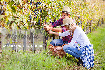Grape harvest, Young couple picking grapes, Slavonia, Croatia Stock Photo - Premium Royalty-Free, Image code: 6115-07282889