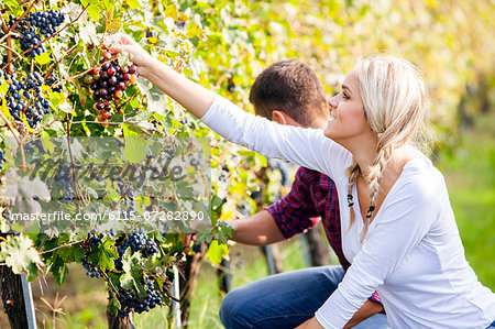 Grape harvest, young couple picking grapes, Slavonia, Croatia Stock Photo - Premium Royalty-Free, Image code: 6115-07282890