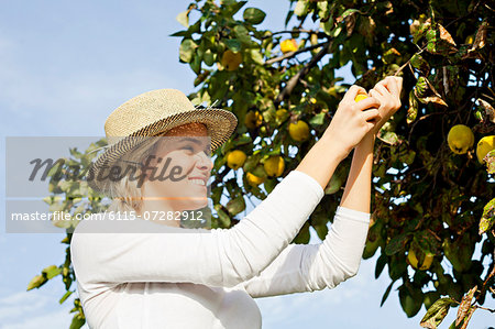 Young woman picking lemons, Slavonia, Croatia Stock Photo - Premium Royalty-Free, Image code: 6115-07282912