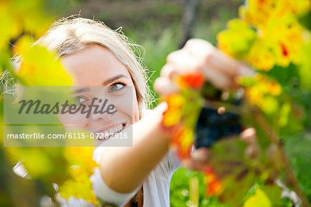 Grape harvest, young woman picking grapes, Slavonia, Croatia Stock Photo - Premium Royalty-Free, Image code: 6115-07282916