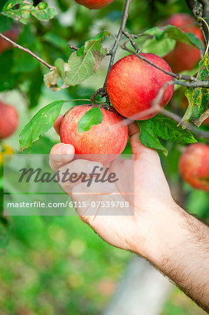 Man's Hand Picking An Apple, Croatia, Europe Stock Photo - Premium Royalty-Free, Image code: 6115-07539788