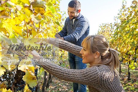 Couple harvesting grapes together in vineyard Stock Photo - Premium Royalty-Free, Image code: 6115-08416346