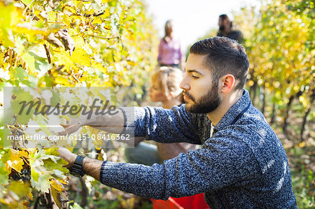 Friends harvesting grapes together in vineyard Stock Photo - Premium Royalty-Free, Image code: 6115-08416362