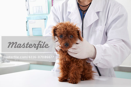 Dog in veterinarian's office Stock Photo - Premium Royalty-Free, Image code: 6116-07086677