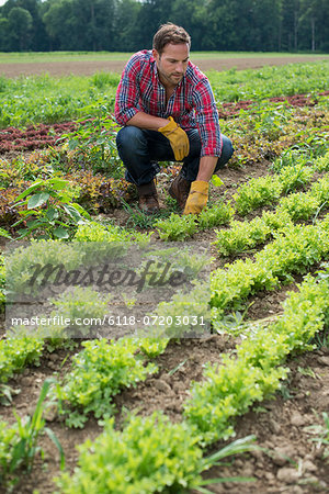 A man in a field of small salad plants growing in furrows. Stock Photo - Premium Royalty-Free, Image code: 6118-07203031