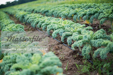 Rows of curly green vegetable plants growing on an organic farm. Stock Photo - Premium Royalty-Free, Image code: 6118-07203055