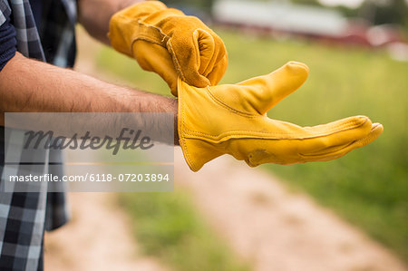 Working on an organic farm. A man putting thick yellow leather work gloves on. Stock Photo - Premium Royalty-Free, Image code: 6118-07203894