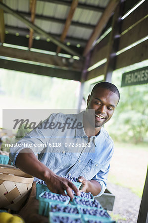 An organic fruit and vegetable farm. A man sorting punnets of blueberries. Stock Photo - Premium Royalty-Free, Image code: 6118-07235171
