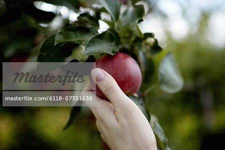A hand reaching up into the boughs of a fruit tree, picking a red ripe apple. Stock Photo - Premium Royalty-Free, Image code: 6118-07351638