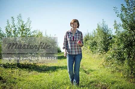 A woman in a plaid shirt picking apples in the orchard at an organic fruit farm. Stock Photo - Premium Royalty-Free, Image code: 6118-07353004