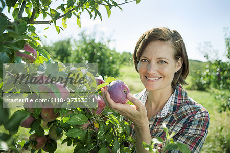 A woman in a plaid shirt picking apples from a laden bough of a fruit tree in the orchard at an organic fruit farm. Stock Photo - Premium Royalty-Free, Image code: 6118-07353011