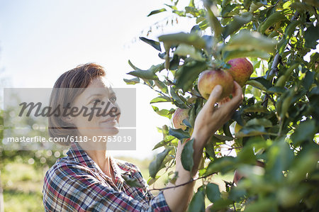 A woman in a plaid shirt picking apples in the orchard at an organic fruit farm. Stock Photo - Premium Royalty-Free, Image code: 6118-07353019
