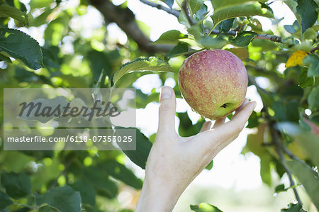 A woman's hand reaching for a fresh apple for picking, in the orchard at an organic fruit farm. Stock Photo - Premium Royalty-Free, Image code: 6118-07353025