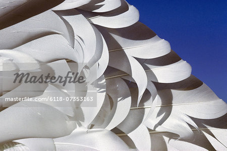 Snow goose wing feathers, Chen caerulescens, California Stock Photo - Premium Royalty-Free, Image code: 6118-07353163