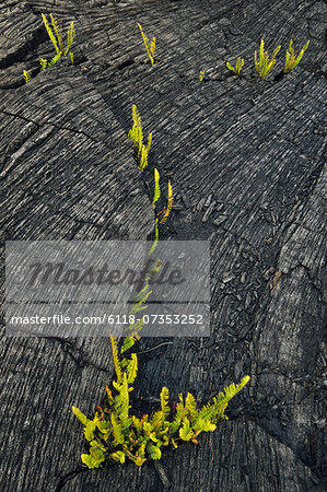 Ferns sprouting in lava flow, Hawaii Volcanoes National Park, Hawaii Stock Photo - Premium Royalty-Free, Image code: 6118-07353252