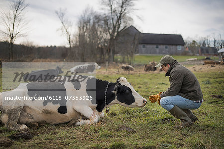A small organic dairy farm with a mixed herd of cows and goats. Stock Photo - Premium Royalty-Free, Image code: 6118-07353926