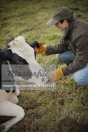 A small organic dairy farm with a mixed herd of cows and goats.  Farmer working and tending to the animals. Stock Photo - Premium Royalty-Free, Image code: 6118-07353927