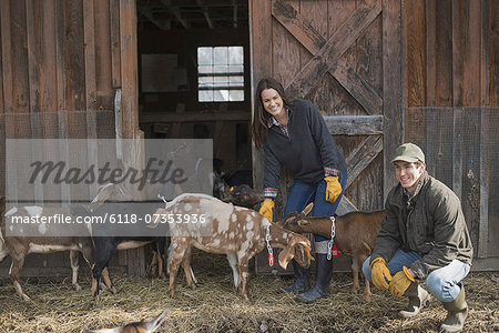 A small organic dairy farm with a mixed herd of cows and goats.  Farmer working and tending to the animals. Stock Photo - Premium Royalty-Free, Image code: 6118-07353936