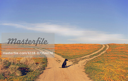 A black labrador retriever dog sitting at a fork in the road, where the path divides. Stock Photo - Premium Royalty-Free, Image code: 6118-07354074