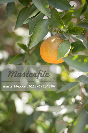 A single orange fruit hanging from a fruit tree in leaf. An organic orchard fruit. Stock Photo - Premium Royalty-Free, Image code: 6118-07354086