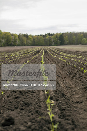 An open field, with ploughed earth. Seedlings growing in rows. Stock Photo - Premium Royalty-Free, Image code: 6118-07354133