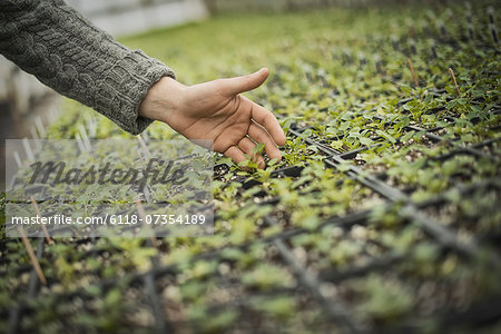 Spring Planting. A man tending trays of small plant seedlings. Stock Photo - Premium Royalty-Free, Image code: 6118-07354189
