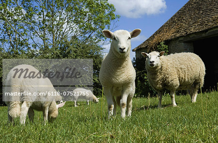 Sheep grazing in paddock. Stock Photo - Premium Royalty-Free, Image code: 6118-07521755