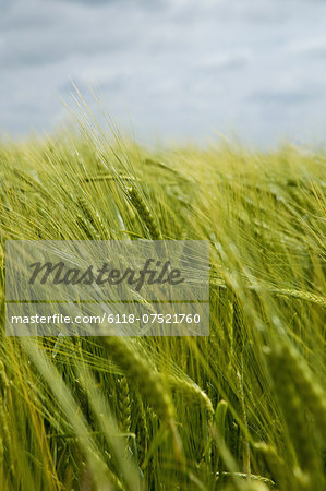 Wheat growing in the field. Stock Photo - Premium Royalty-Free, Image code: 6118-07521760