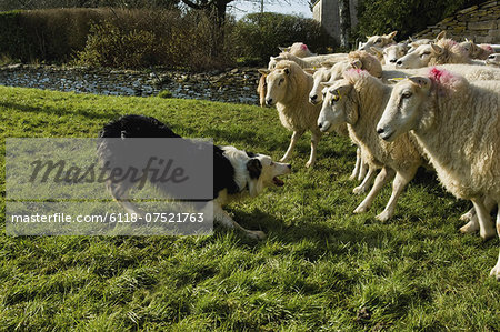 Sheepdog working a small flock of sheep. Stock Photo - Premium Royalty-Free, Image code: 6118-07521763