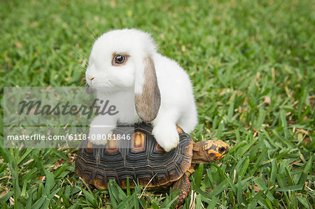 A small tortoise and a white rabbit on the grass. Stock Photo - Premium Royalty-Free, Image code: 6118-08081846