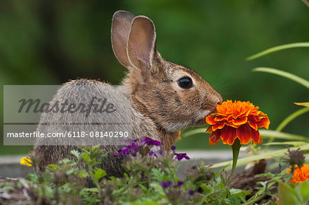 Cottontail Rabbit sitting on a meadow with an orange Marigold flower. Stock Photo - Premium Royalty-Free, Image code: 6118-08140290