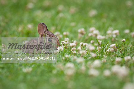 Baby rabbit sitting in a grass and clover meadow. Stock Photo - Premium Royalty-Free, Image code: 6118-08140311