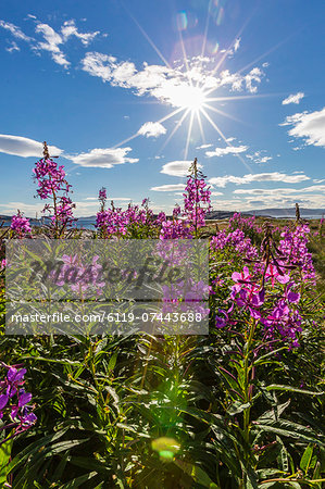 Dwarf fireweed (River Beauty willowherb) (Chamerion latifolium), Hebron, Labrador, Canada, North America Stock Photo - Premium Royalty-Free, Image code: 6119-07443688