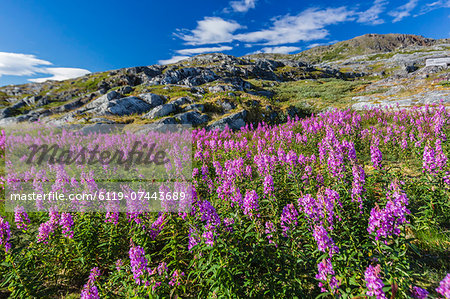 Dwarf fireweed (River Beauty willowherb) (Chamerion latifolium), Hebron, Labrador, Canada, North America Stock Photo - Premium Royalty-Free, Image code: 6119-07443689