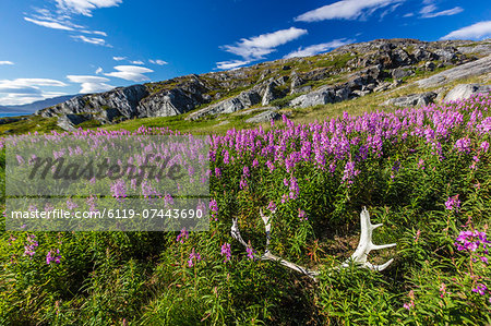 Dwarf fireweed (River Beauty willowherb) (Chamerion latifolium), with caribou antlers in Hebron, Labrador, Canada, North America Stock Photo - Premium Royalty-Free, Image code: 6119-07443690
