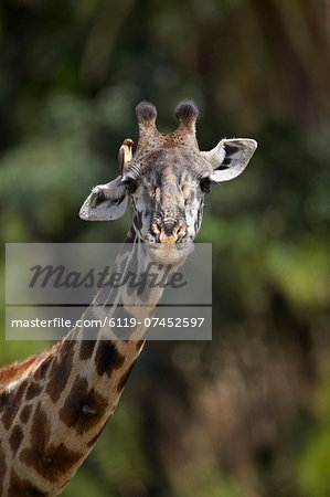Masai giraffe (Giraffa camelopardalis tippelskirchi) with a red-billed oxpecker (Buphagus erythrorhynchus), Serengeti National Park, Tanzania, East Africa, Africa Stock Photo - Premium Royalty-Free, Image code: 6119-07452597